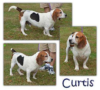 Basset Hound Dog for adoption in Marietta, Georgia - Curtis