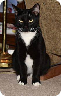 Domestic Shorthair Kitten for adoption in Fowlerville, Michigan - Pepper Jack (a/k/a Spats)