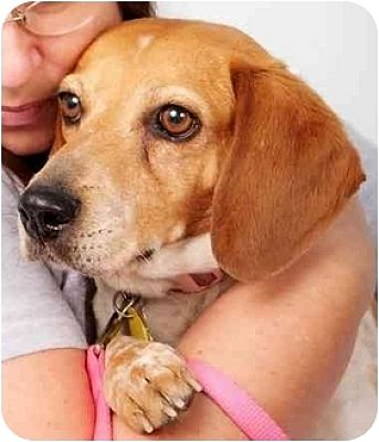 Beagle Mix Dog for adoption in Phoenix, Arizona - Amy Lynn
