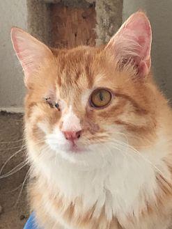 Domestic Longhair Cat for adoption in McKinney, Texas - Dewey