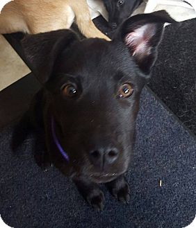 Labrador Retriever/Australian Shepherd Mix Puppy for adoption in Minerva, Ohio - Violet