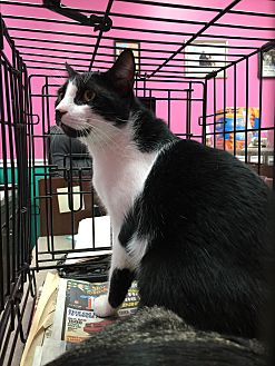 Domestic Shorthair Cat for adoption in West Palm Beach, Florida - Oreo