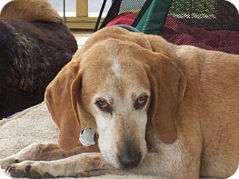Coonhound Dog for adoption in Bealeton, Virginia - Harold