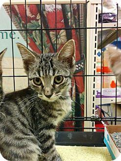 Domestic Shorthair Kitten for adoption in Hurst, Texas - Percival