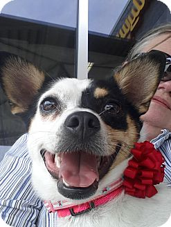 Rat Terrier/Corgi Mix Dog for adoption in Nanuet, New York - DeeDee
