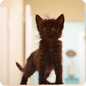 Domestic Shorthair Kitten for adoption in Dallas, Texas - Ares