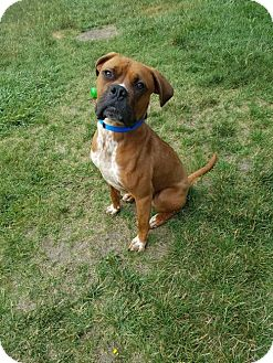 Boxer Dog for adoption in Troy, Michigan - Brock - ADOPTION PENDING