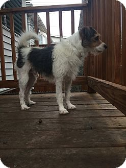 Wirehaired Fox Terrier Dog for adoption in norridge, Illinois - Tex