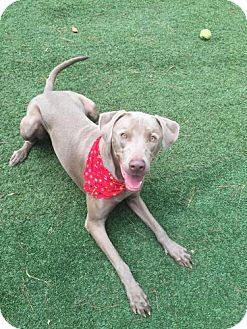 Weimaraner Dog for adoption in Atlanta, Georgia - Ace