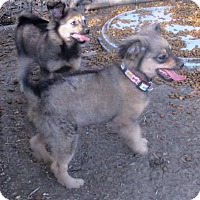 Chihuahua/Pomeranian Mix Puppy for adoption in Godley, Texas - Lil Boy