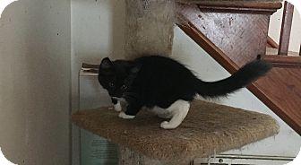 Domestic Mediumhair Kitten for adoption in Hampton, Virginia - George