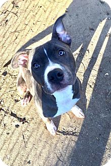 Pit Bull Terrier Dog for adoption in Nashville, Tennessee - Charlotte