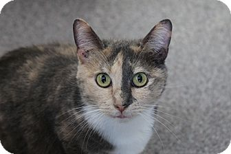 Domestic Shorthair Cat for adoption in Sarasota, Florida - Zahara