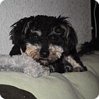 Adopt A Pet :: Oreo  1 Year - C/S & Denver Metro, CO