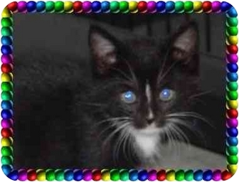 Domestic Shorthair Kitten for adoption in KANSAS, Missouri - FIRE FLY