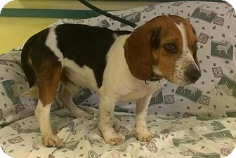Beagle Dog for adoption in Ridgely, Maryland - Kyle