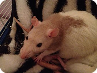 Rat for adoption in Lees Summit, Missouri - Nina
