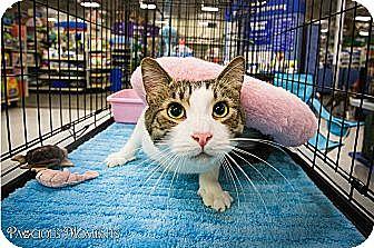 Domestic Shorthair Cat for adoptio