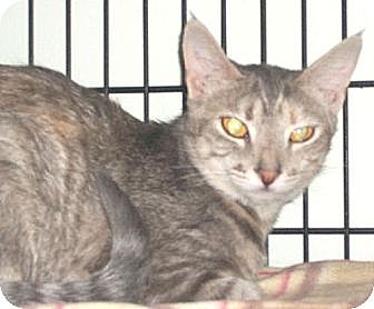 Domestic Shorthair Cat for adoption in Watsontown, Pennsylvania - Darla