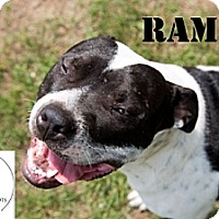 Pit Bull Terrier/American Bulldog Mix Dog for adoption in Belleville, Michigan - Rambo