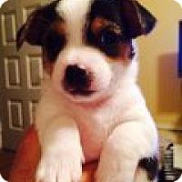 Adopt A Pet :: Puppy Callie - San Antonio, TX