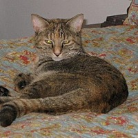 Domestic Shorthair Cat for adoption in Cincinnati, Ohio - zz 'Lena' courtesy listing