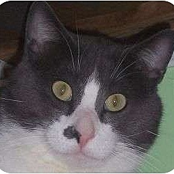 Photo 1 - Domestic Shorthair Cat for adoption in Andover, Kansas - Remmi