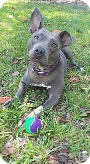 American Staffordshire Terrier Dog for adoption in Hialeah, Florida - Phoebe