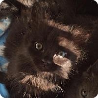 Adopt A Pet :: Colossus - Tucson, AZ