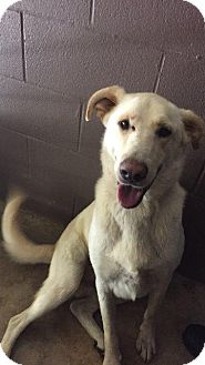 Golden Retriever/Shepherd (Unknown Type) Mix Dog for adoption in Mt. Vernon, Texas - Scott
