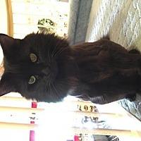 Adopt A Pet :: Bojangles (LittleBit) - Plantation, FL