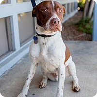 Pointer/Labrador Retriever Mix Dog for adoption in San Diego, California - Smokey