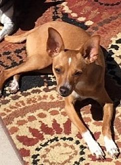 Chihuahua Mix Dog for adoption in Mesa, Arizona - Peyton