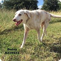 Adopt A Pet :: DAISY - Conroe, TX