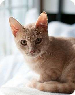 Domestic Shorthair Cat for adoption in Faribault, Minnesota - quigley
