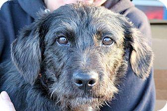 Schnauzer (Miniature)/Basset Hound Mix Dog for adoption in Sugar Grove, Illinois - Roscoe