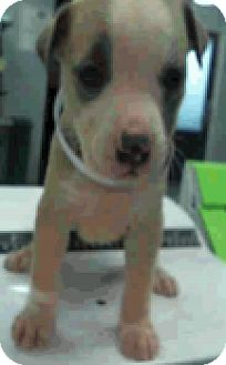 Bull terrier mix puppy for adoption in fort collins colorado selma