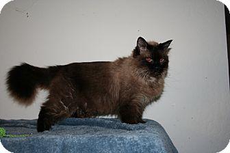 Himalayan Cat for adoption in Santa Rosa, California - Ziva