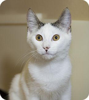 Domestic Shorthair Kitten for adoption in Farmingdale, New York - Vera