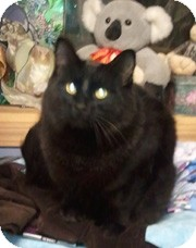 Domestic Mediumhair Cat for adoption in Anchorage, Alaska - Jonas