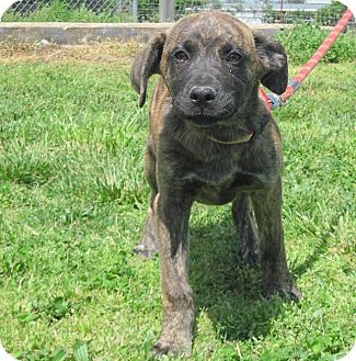 Mountain Cur Mix Dog for adoption in Linden, Tennessee - Flower