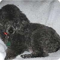 Adopt A Pet :: Calvin - Mooy, AL