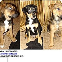 Adopt A Pet :: PUPPIES RAT TERRIER - Brooksville, FL