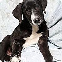 Adopt A Pet :: Bristol Border Collie mix - St. Louis, MO