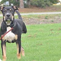 Adopt A Pet :: Junner - Tumwater, WA