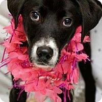 Adopt A Pet :: Mingo - Alpharetta, GA