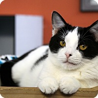 Domestic Shorthair Cat for adoption in Sarasota, Florida - Cupo