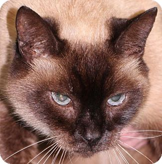 Siamese Cat for adoption in Lovingston, Virginia - Penny