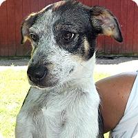 Adopt A Pet :: COME MEET Jilly Bean - Westport, CT