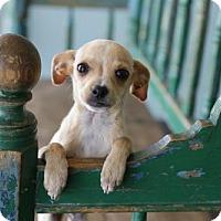Adopt A Pet :: Ramiro - San Antonio, TX